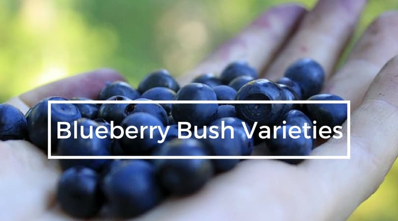 Growing Blueberry Bushes A Guide To Bush Varieties