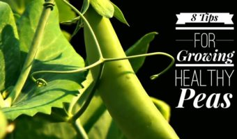 How to Prevent and Control Pea Diseases