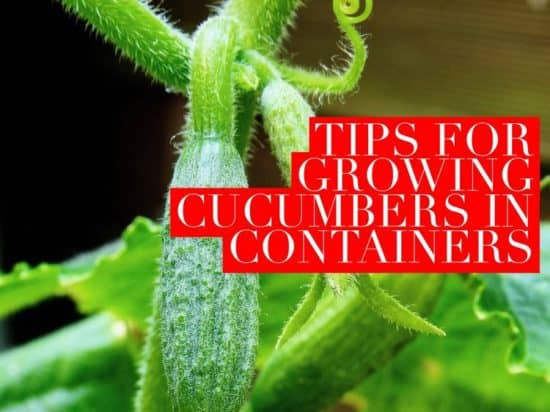 how to grow cucumbers in containers