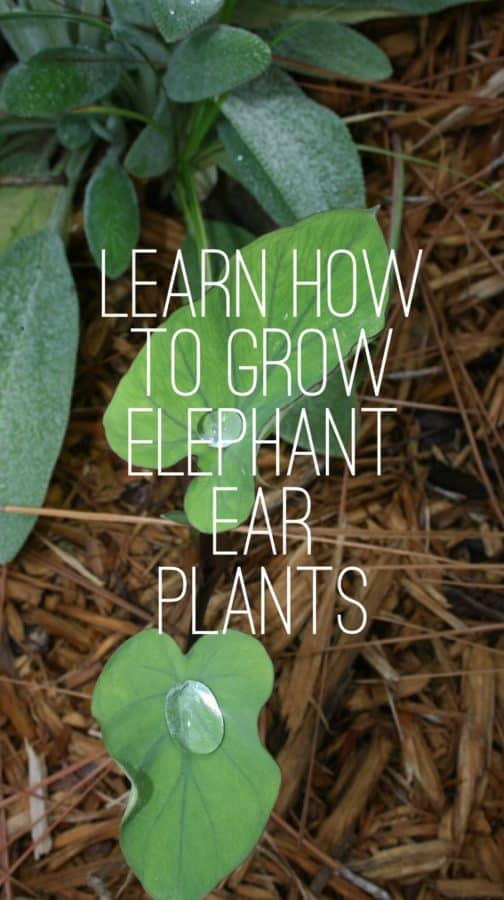 how to grow elephant ear plants. Black Bedroom Furniture Sets. Home Design Ideas