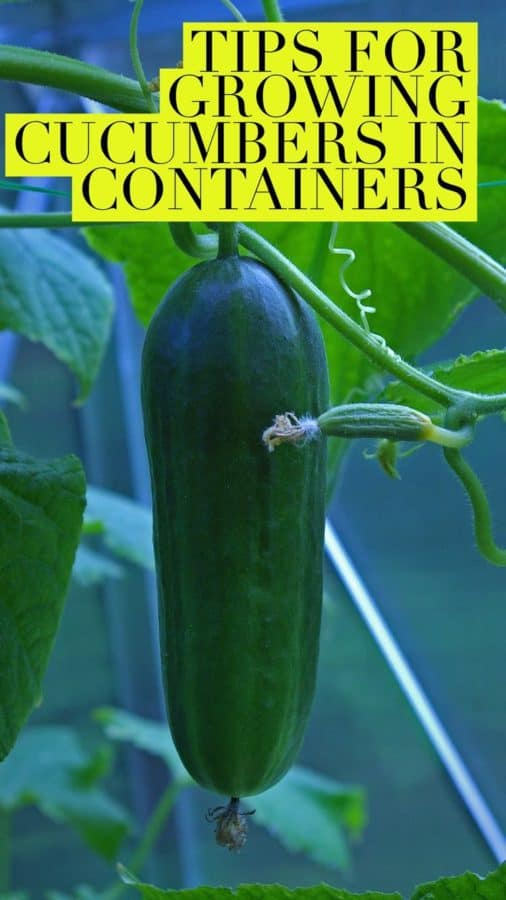Learn how to grow cucumbers in a container garden successfully