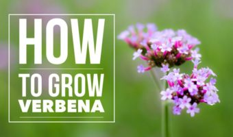 How to Grow Verbena