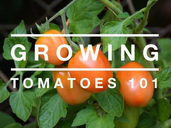 how to grow tomatoes 101