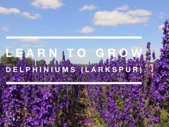 grow larkspur delphinium flowers