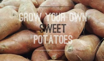 How to Grow Sweet Potatoes in Your Garden
