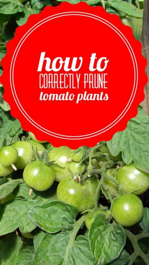 How to prune tomato plants for the best yield