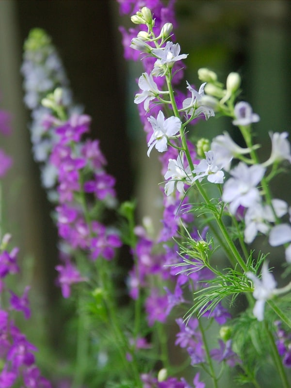 Learn to Grow Delphinium Flowers