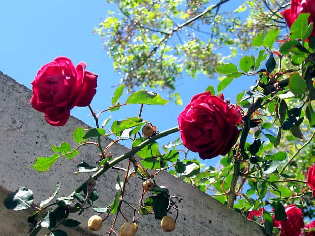 How to Treat Common Rose Diseases