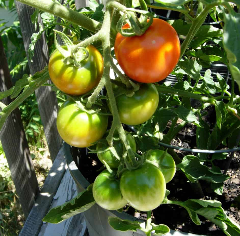 Quick Tips for Container Tomatoes