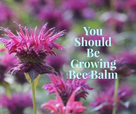 learn to grow bee balm