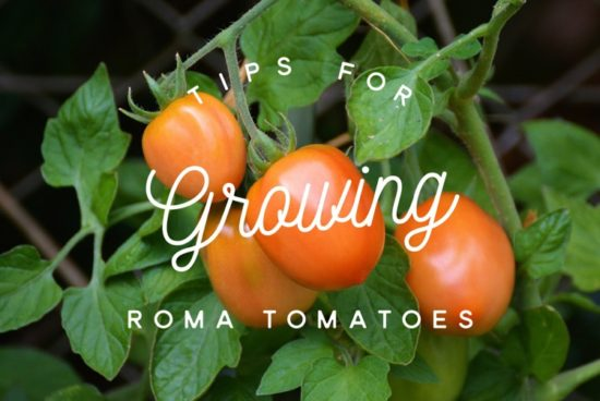 Tips for Growing Roma Tomatoes
