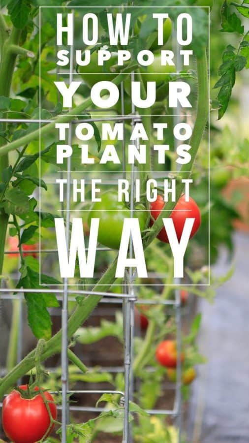 How to support tomato plants for gardening success