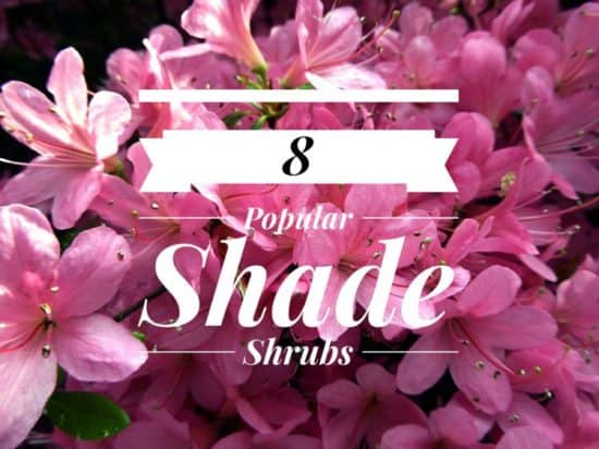 Common Shrubs That Grow in Shade