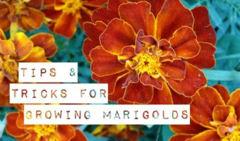 Growing Marigolds: Tips and Tricks