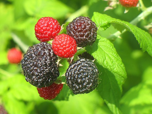 List of Types of Berries from A to Z