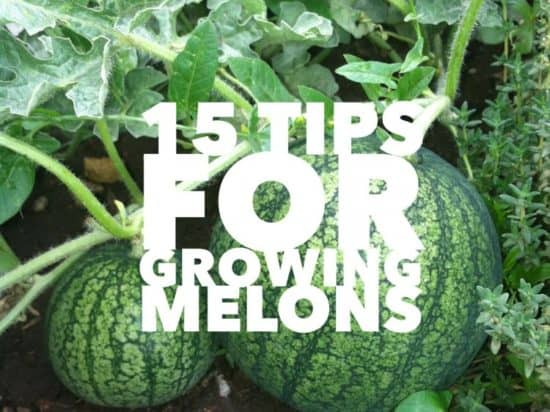 Growing Tips for Melons