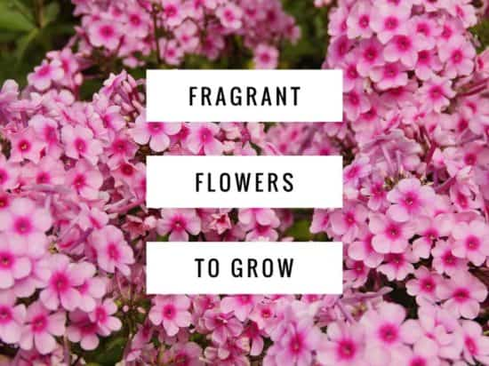 Ideas for Growing Fragrant Flowers