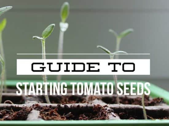 Starting tomoato seeds guide