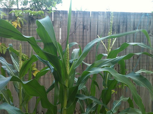 Corn Diseases: How to Identify and Control