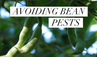 Bean Pests: How to Identify and Control