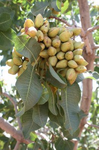 How Do Cashews Grow http://www.gardeningchannel.com/growing-pistachios/