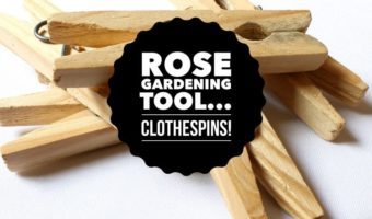 Clothespins: A Helpful Rose Gardening Gadget