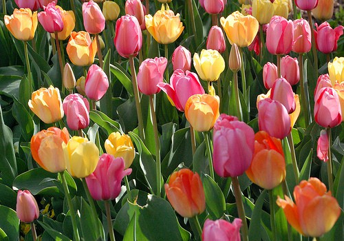 How to Plan for Planting Tulips