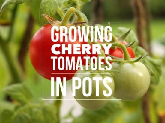 Best Varieties for Growing Cherry Tomatoes in Pots