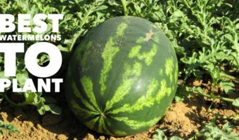 Best Watermelon Varieties to Plant
