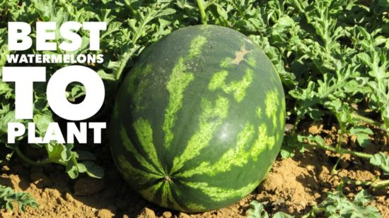 Best Watermelons to Grow