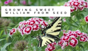 Sweet William: Growing from Seed
