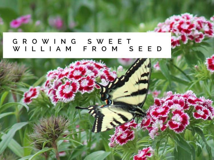 Sweet William Growing From Seed