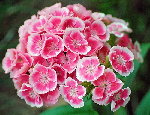 Sweet William: Pests and Diseases