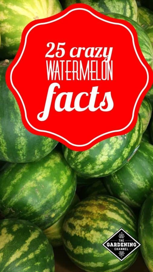 These facts about watermelons will help you grow them better and enjoy eating them.