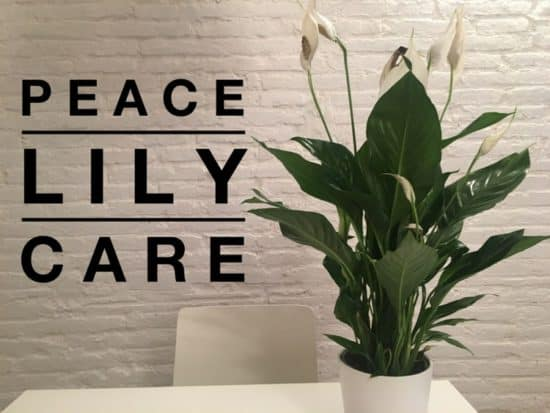 growing peace lilies