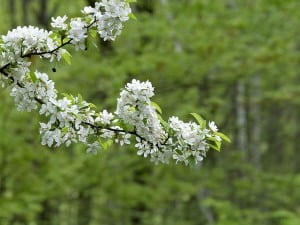 tree branch flowering blossoms