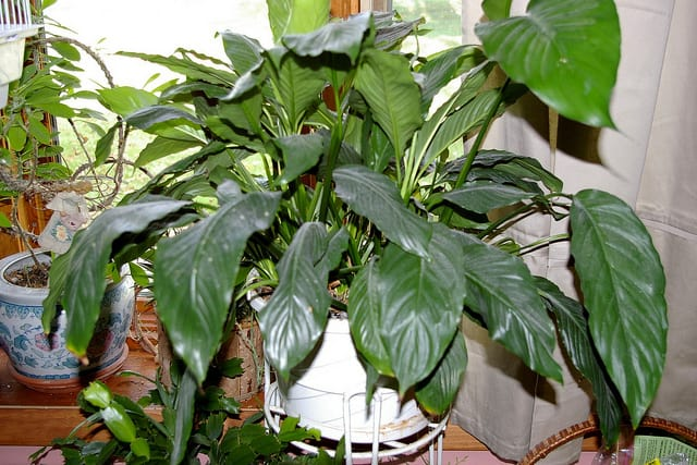 peace lily care how to grow peace lily plants successfully at home. Black Bedroom Furniture Sets. Home Design Ideas