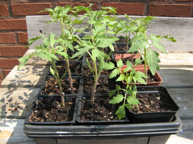Intro to Growing Tomatoes in Containers