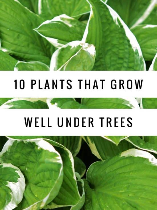 What To Grow Under Oak Trees : Planting under trees from university of nebraska lincoln