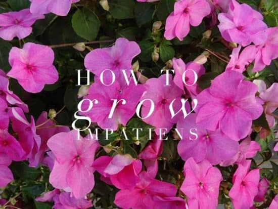 how to grow impatiens flowers