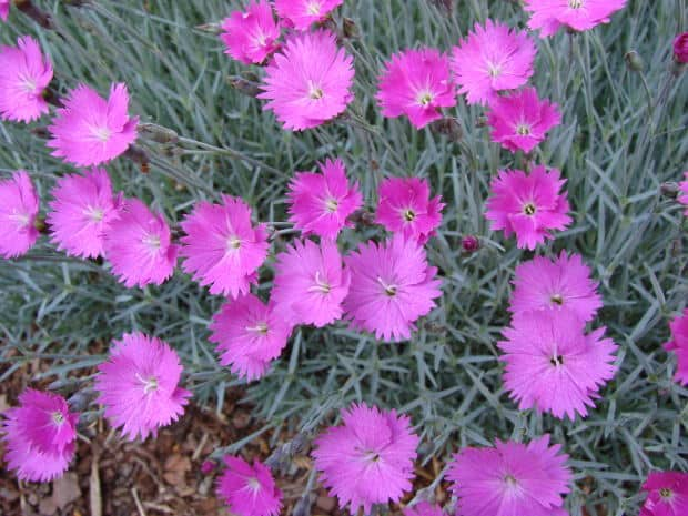 How to Grow Pinks (Dianthus)