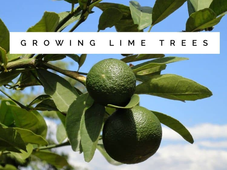 How to grow lime trees - What is lime used for in gardening ...