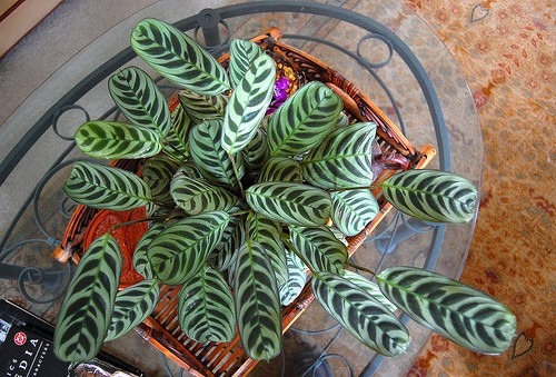 How to Grow a Prayer Plant