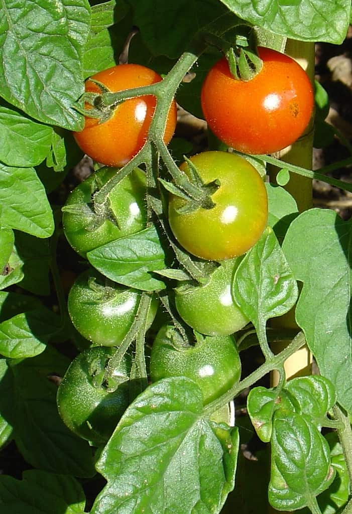 How to Grow Extra Tomato Plants from Cuttings