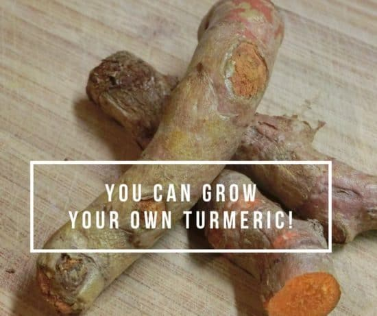 grow your own turmeric