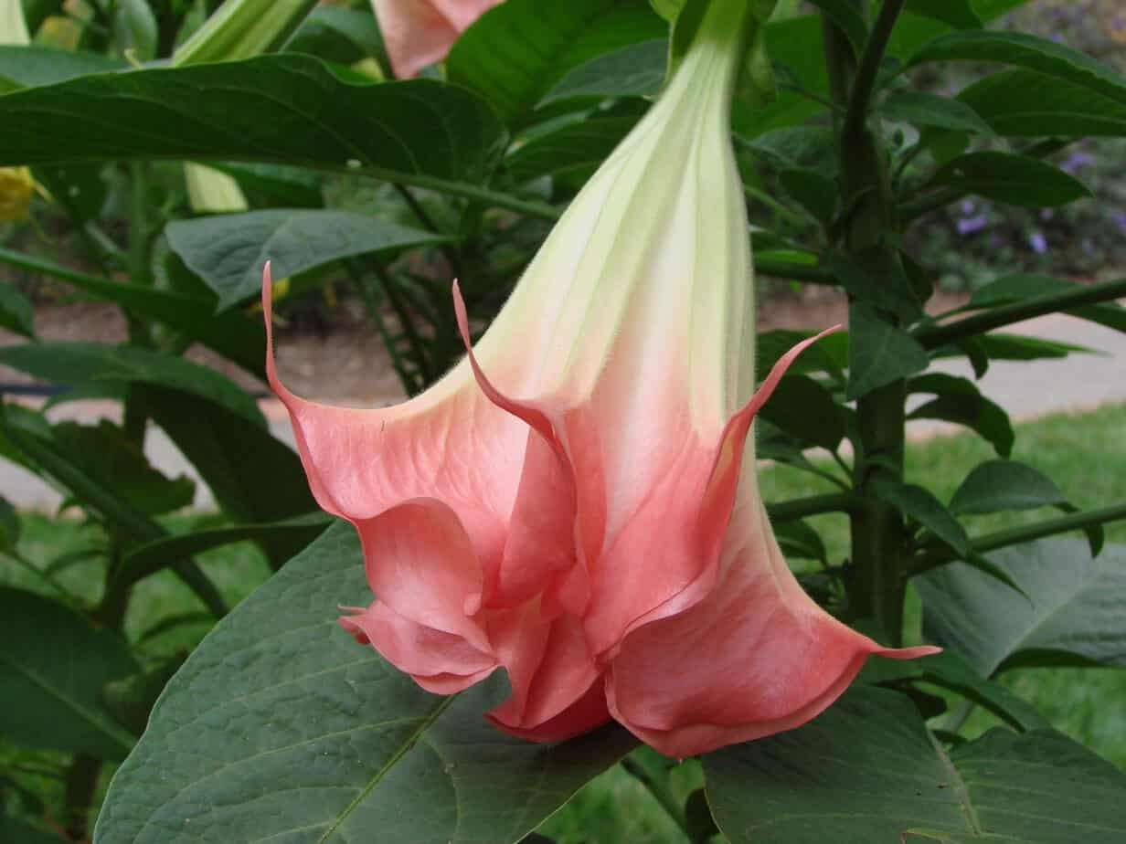 How to Grow Angel's Trumpet
