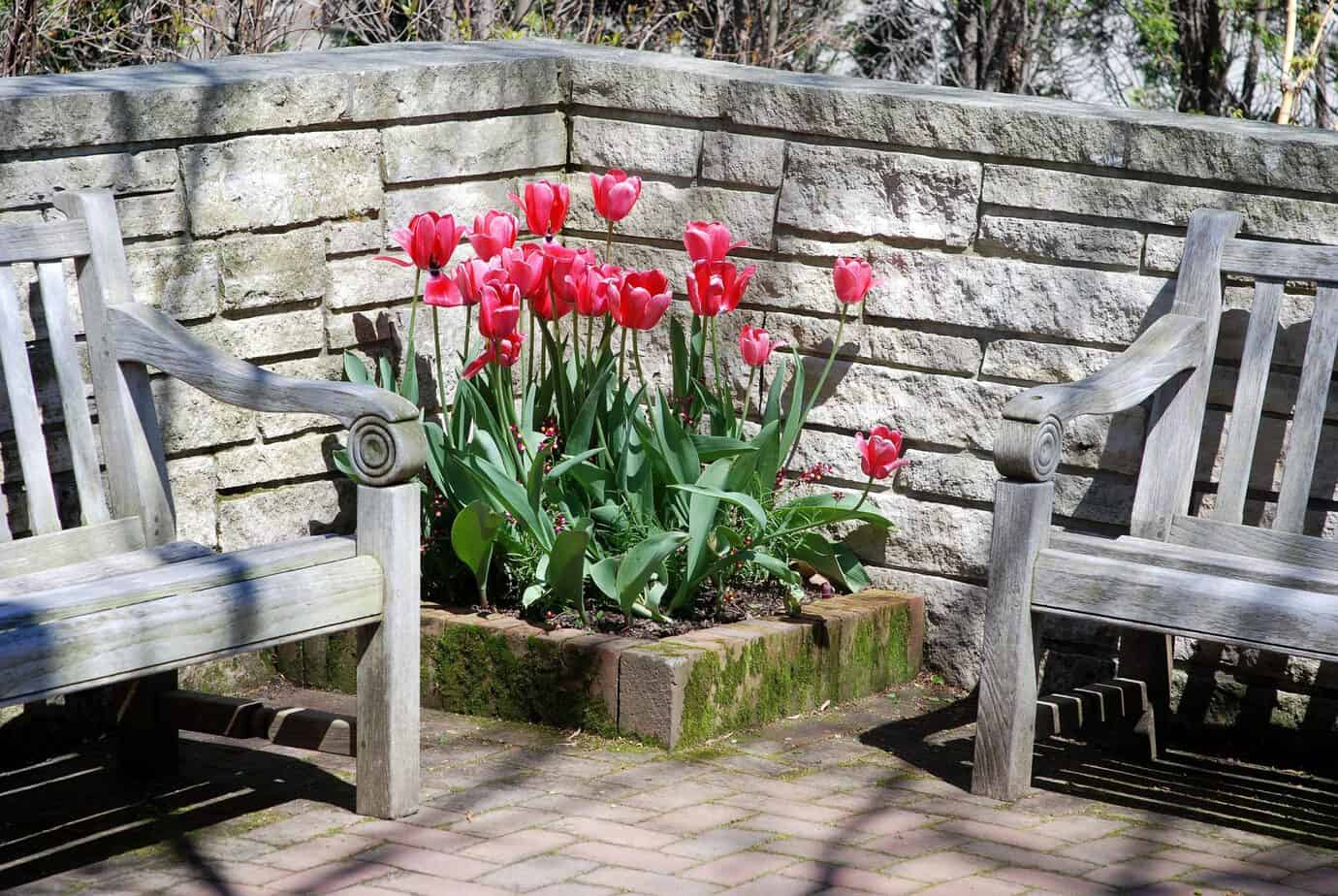 How To Get Your Tulips to Come Back Each Year