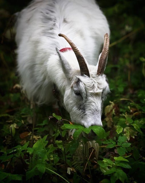 Goats for Weed Control: Everything You Need to Know, Including How to Rent Goats