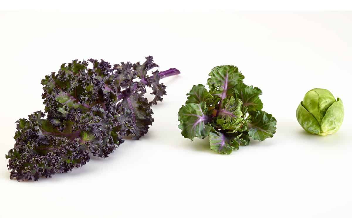 How to Grow Kalettes: New Superfood, the Kale and Brussels Sprouts Vegetable Hybrid
