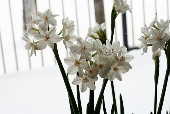 Growings Paperwhites